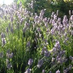 Lavender blesses the property with its beauty and its fragrance.