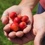 Kauai berries found during Kauai Photo Tour