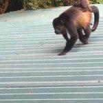 Resident Howler Monkey