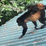Resident howler monkey and baby