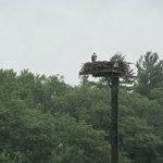 An Osprey bird in its nest.