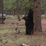 Black bear scratching its back