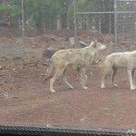 wolves Bearizona