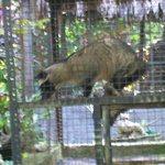 One of the Luwak