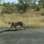 spotted a leopard on the way to motswari