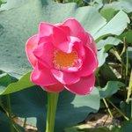 Caspian lotus