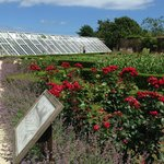 Rosen im Ziergarten