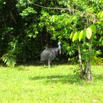 Cassowary seen at Cooper Creek Wildenress Park