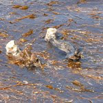 Otters playing taken from pier short walk from Hotel