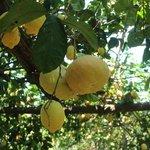 Zitronenbäume auf der Farm