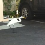 George, resident egret and lover of hot dogs.