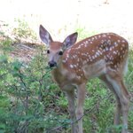 Fawn behind our cabin