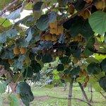 Kiwi Fruit Tree