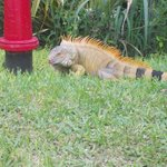 Iguana Rex
