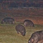 Hippos auf der Wiese