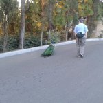 Peacock walks with you at San Diego Zoo