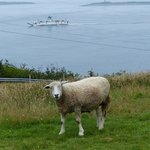 Sheep and ferry