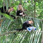 Thieving Monkeys