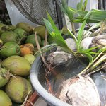 coconut trees growing