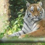 Tiger,tiger burning bright