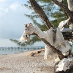 The Conch tree