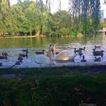 Swans at the public garden