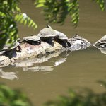Amazing to see so many turtles in the wild