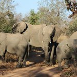 Elephant herd, with several young