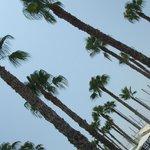 Malaga palms