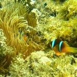 Nemofisk og anemone