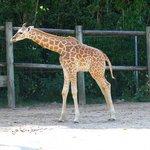 bébé girafe 3 mois