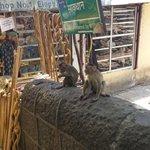 Beware of monkeys!