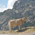 Vache et montage
