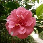 rosa jardin pena