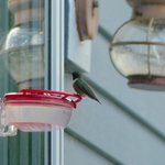 Hummingbird at breakfast