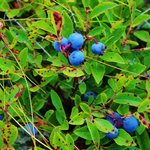 Lots of blueberries in late July