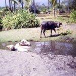 Bufali al bagno diapo 1985