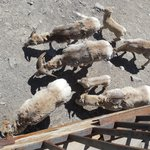Mountain goats at top of Sulphur Mountain