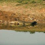 Croc watching