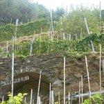 wijnranken op de flanken tussen Monterosso en Vernazza