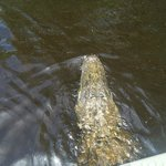 can't get closer to a gator