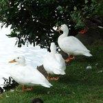 Aylesbury Duck's