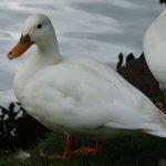 Aylesbury Duck-domestic not wild
