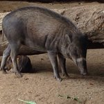 Warty pigs from Visaya, Philippines