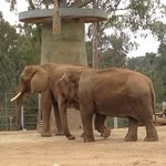 Elephant - small ears Asian elephant  Big ears - African elephant