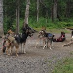 Iditarod dog sled