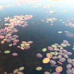 Beautiful lilypads on the water