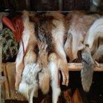 Fourrure de loup et de coyote