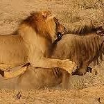 A lion busy with its prey