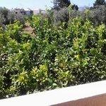 ulivi e limoni dal nostro balcone